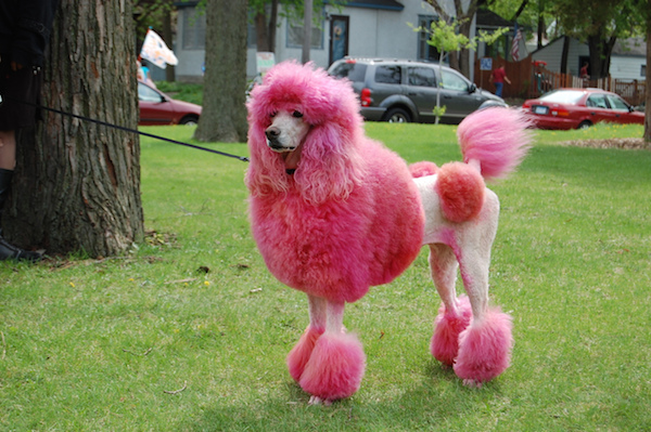 Even this poodle doesn't look good with poodle hair.