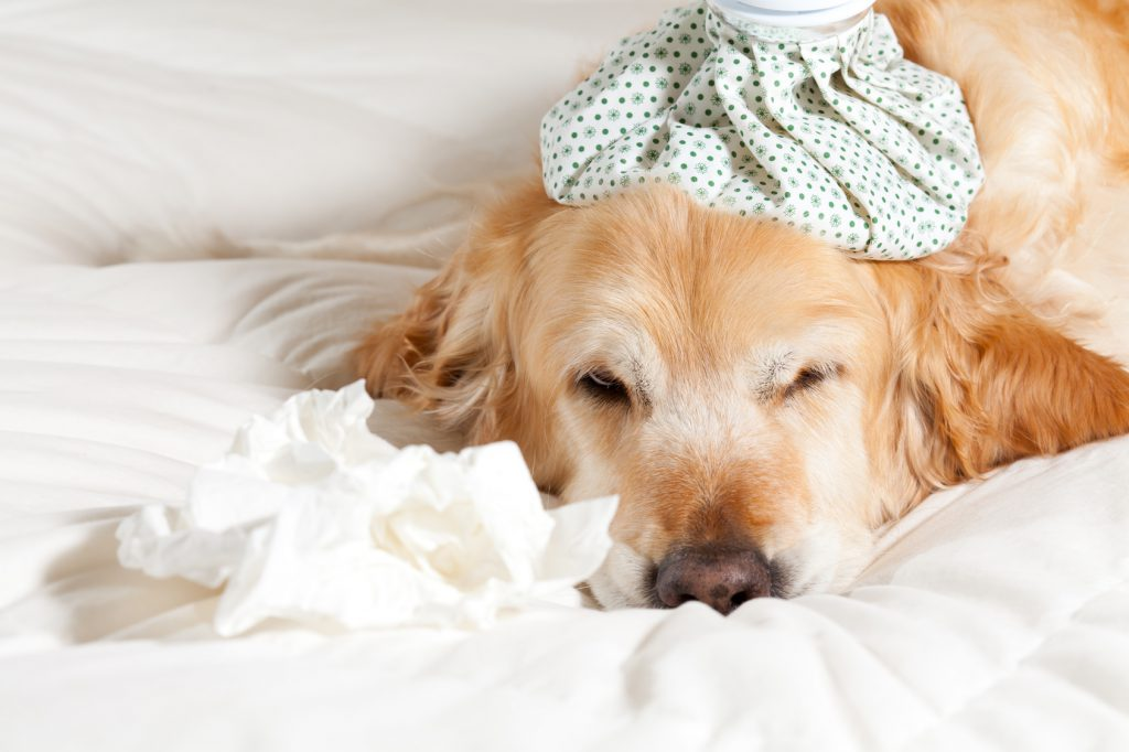 Only the overworked gets sick like a dog.