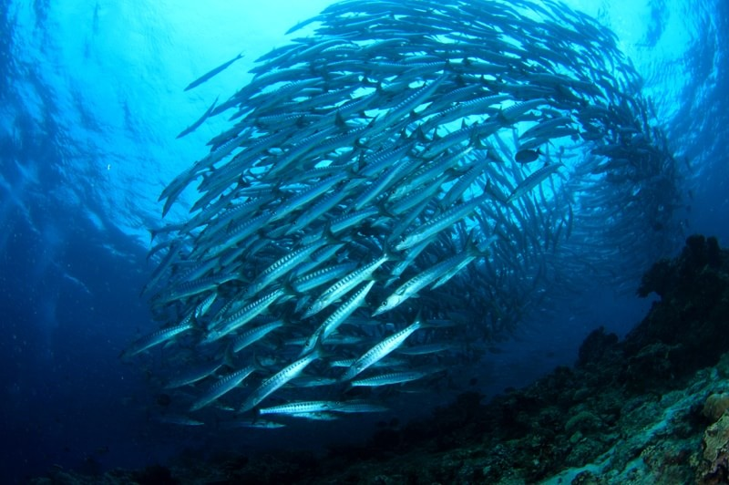 Schools of fish for you to follow and study.