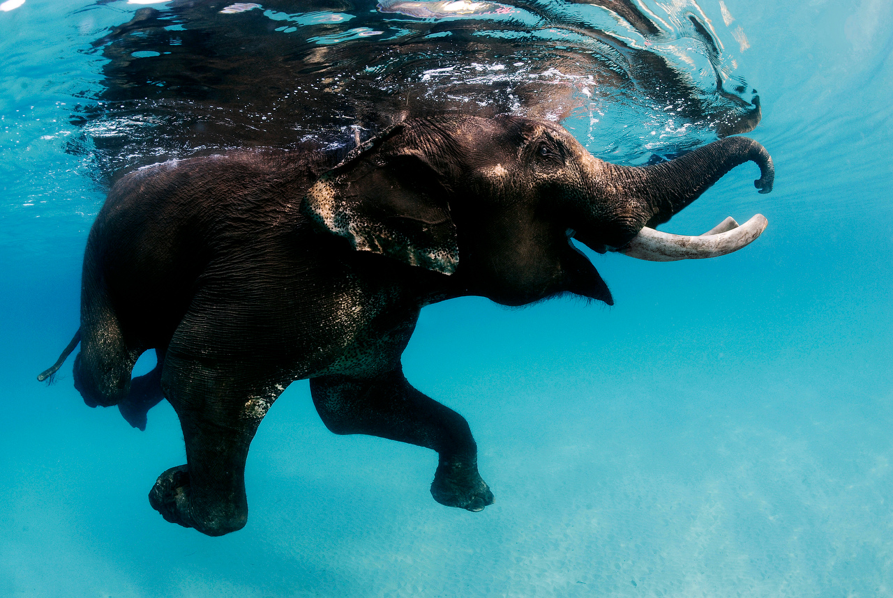 Rajan swimmer elephant