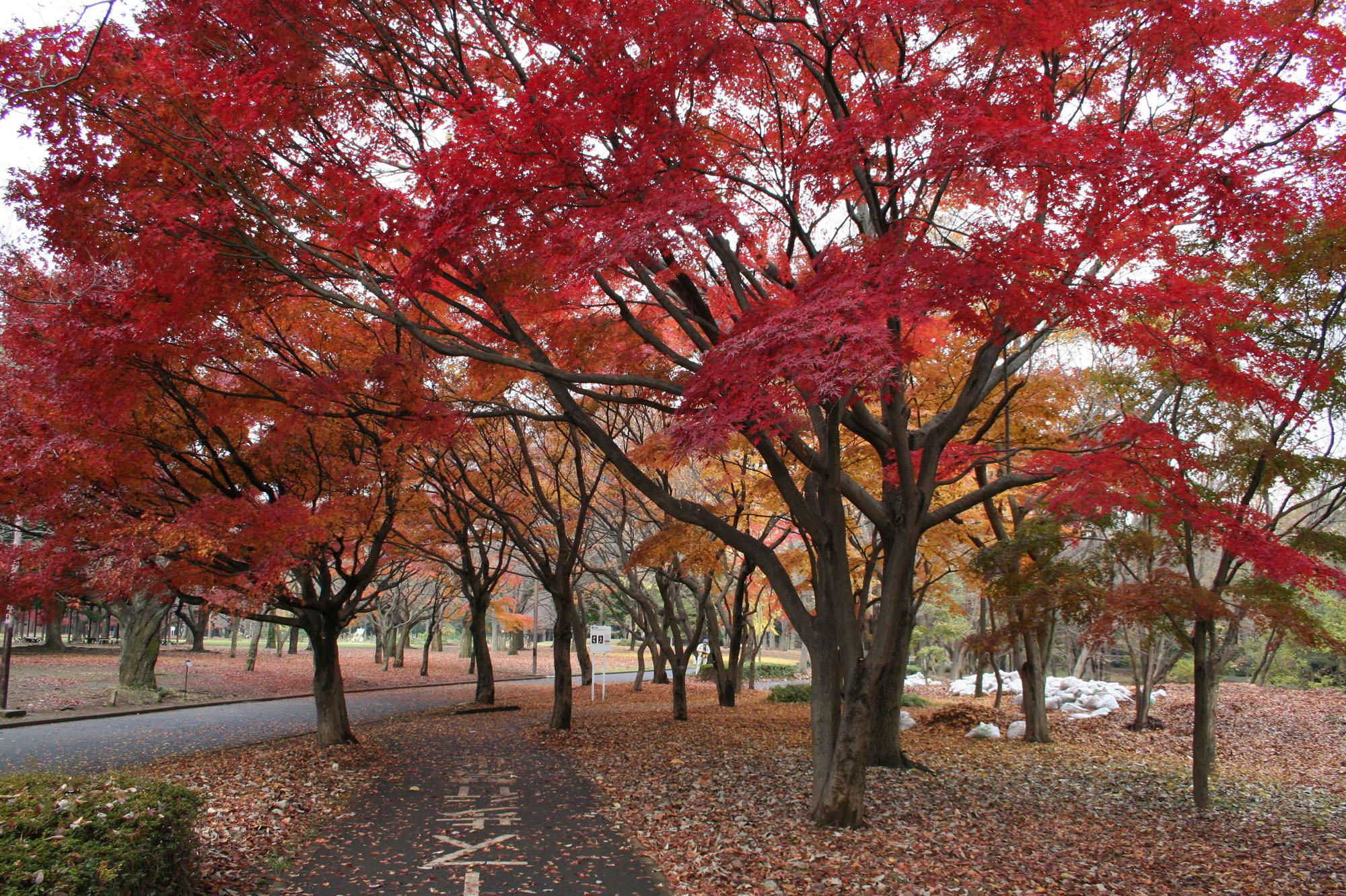 Yoyogi_Koen_in_autumn