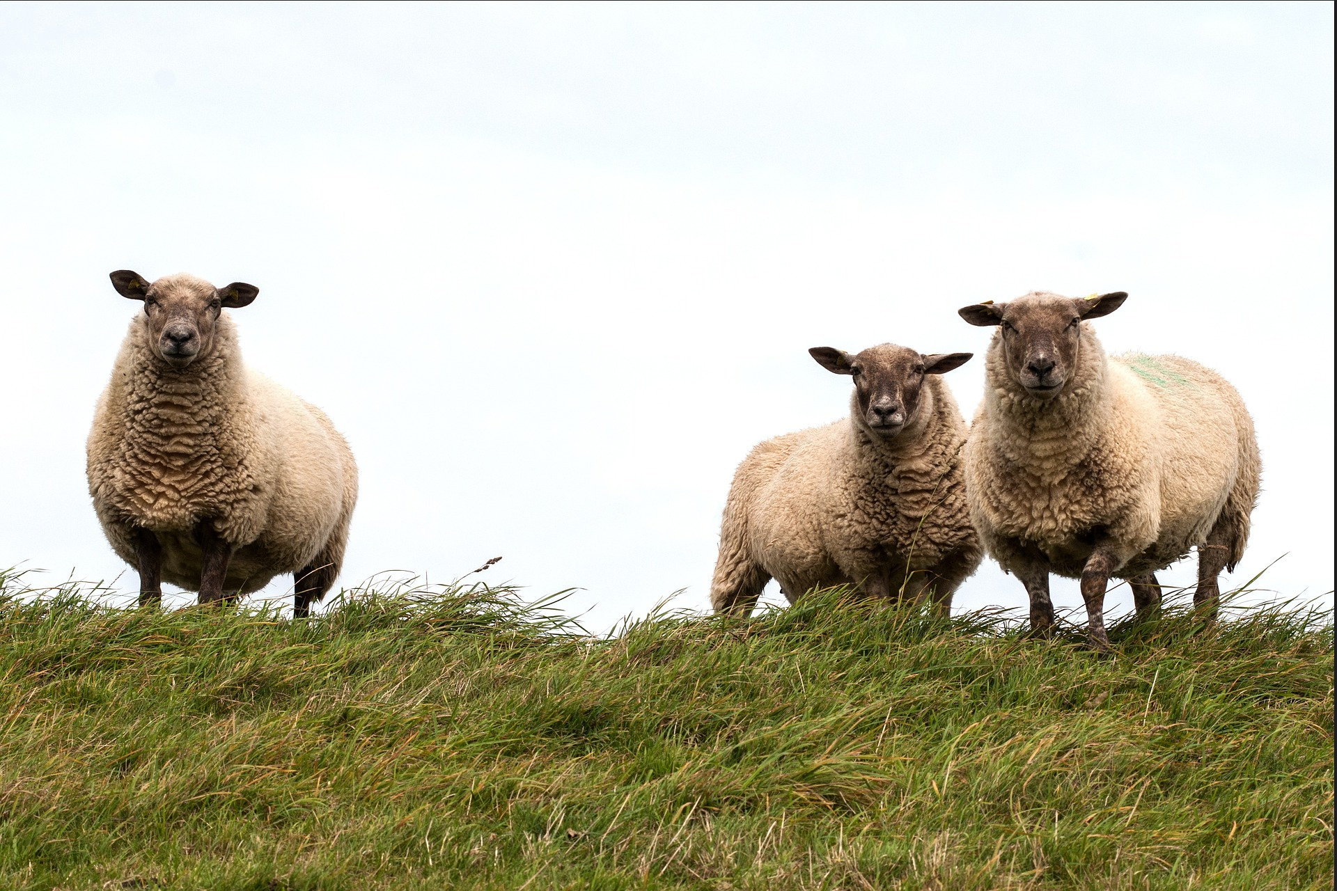 sheep-784561_1920