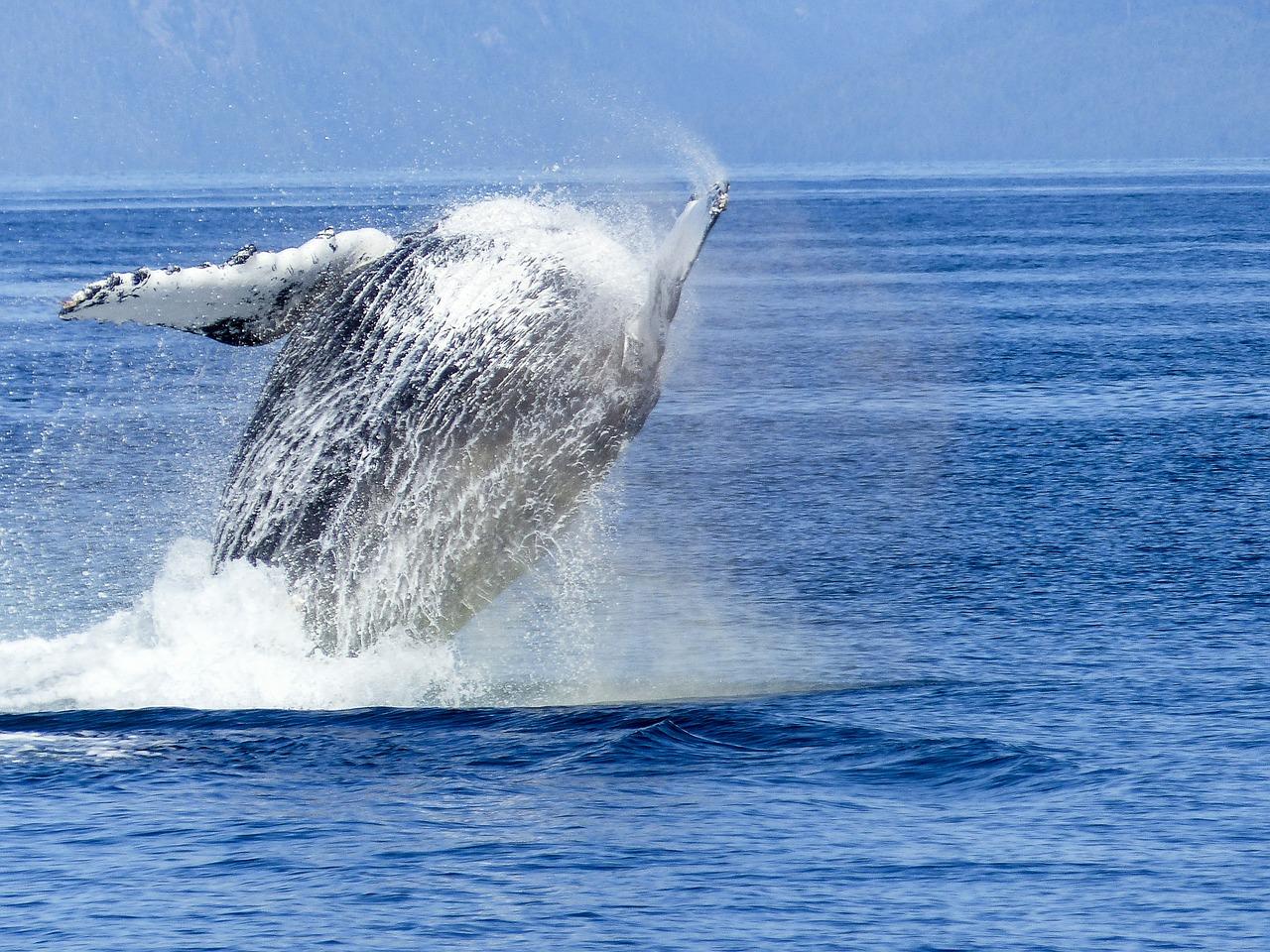 humpback-whale-431907_1280