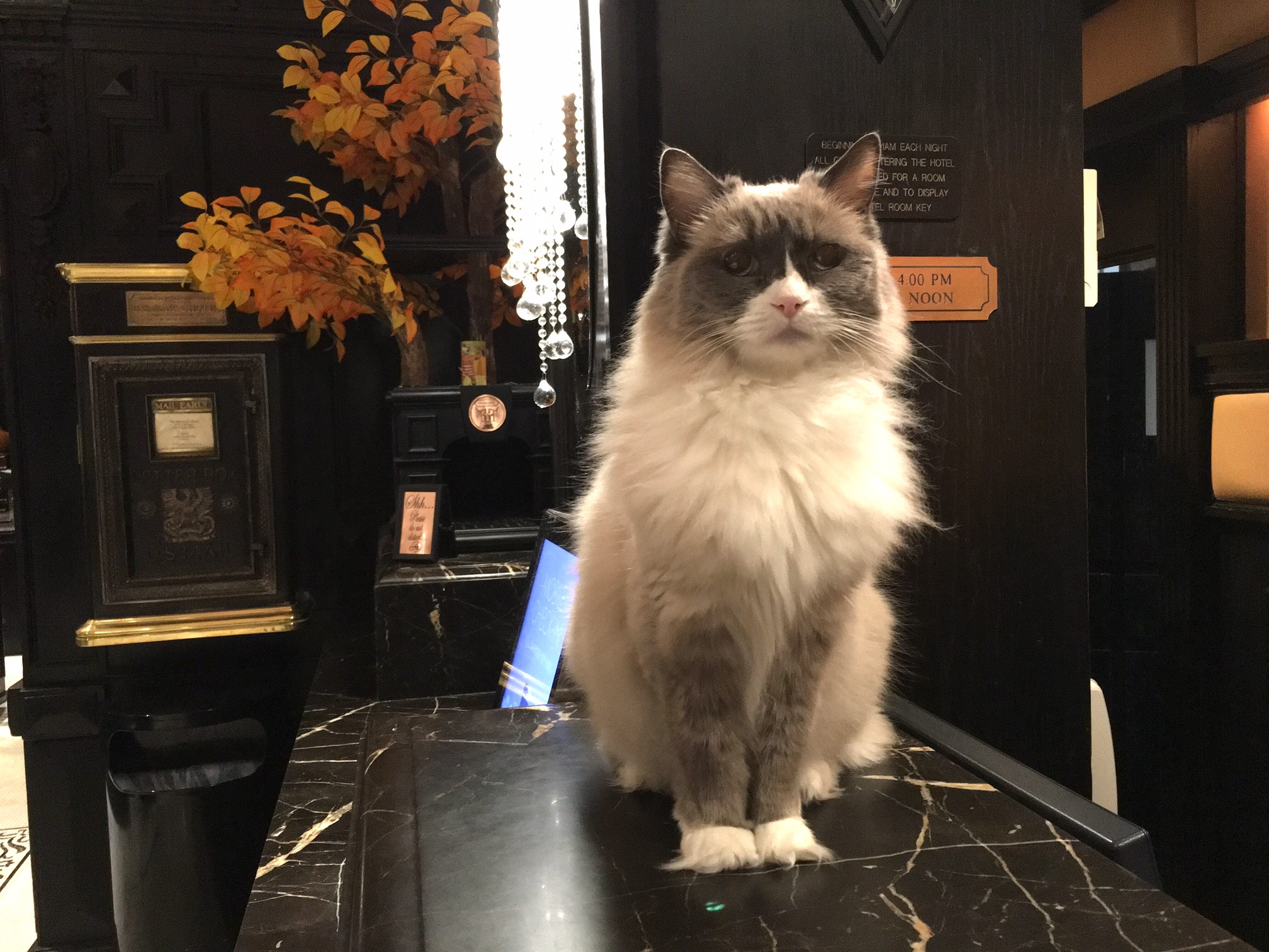 """Dream job: the hotel has its own human """"Chief Cat Officer"""""""