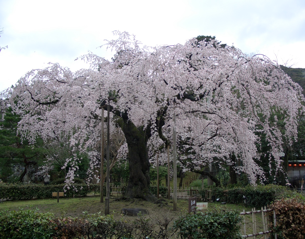 Cherry_blossoms_in_Kyoto