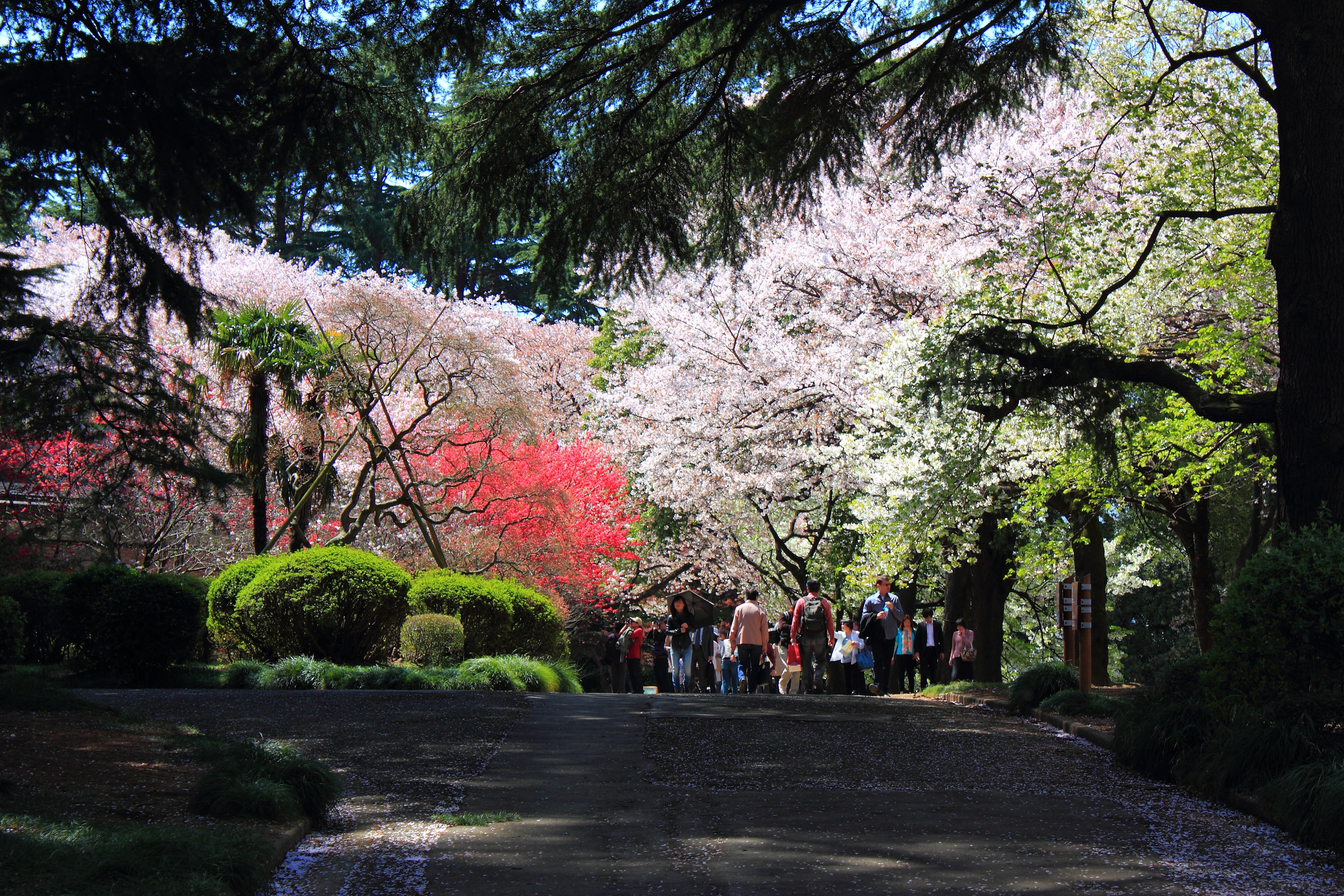 Shinjuku_Gyoen_National_Garden_-_sakura_6