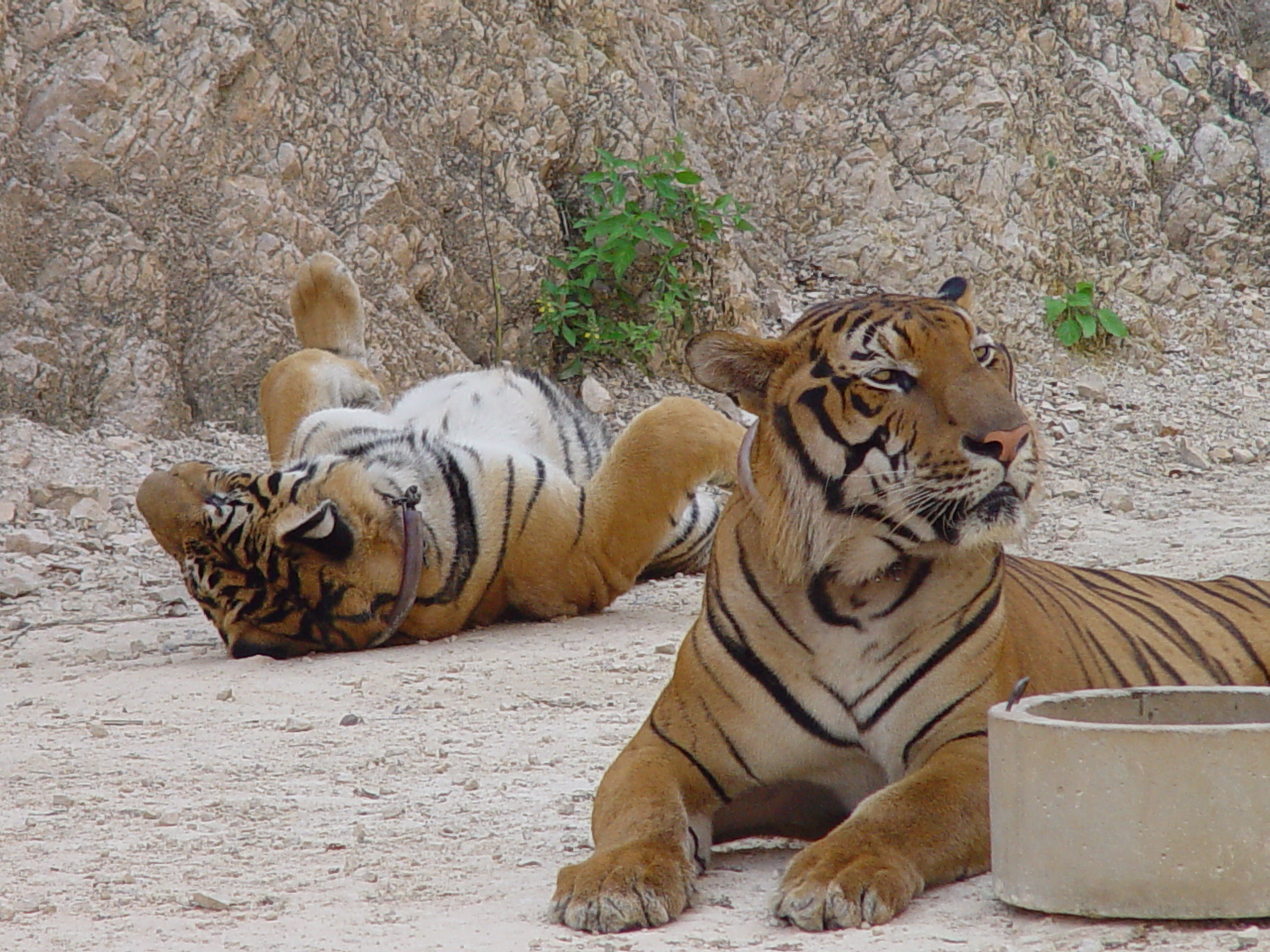 Tigers_in_the_Tiger_Temple,_Thailand