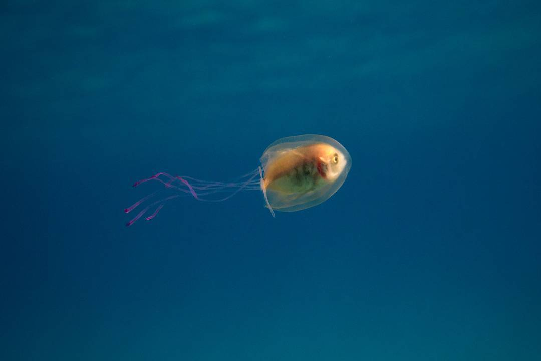 fish-in-jellyfish-tim-samual-3