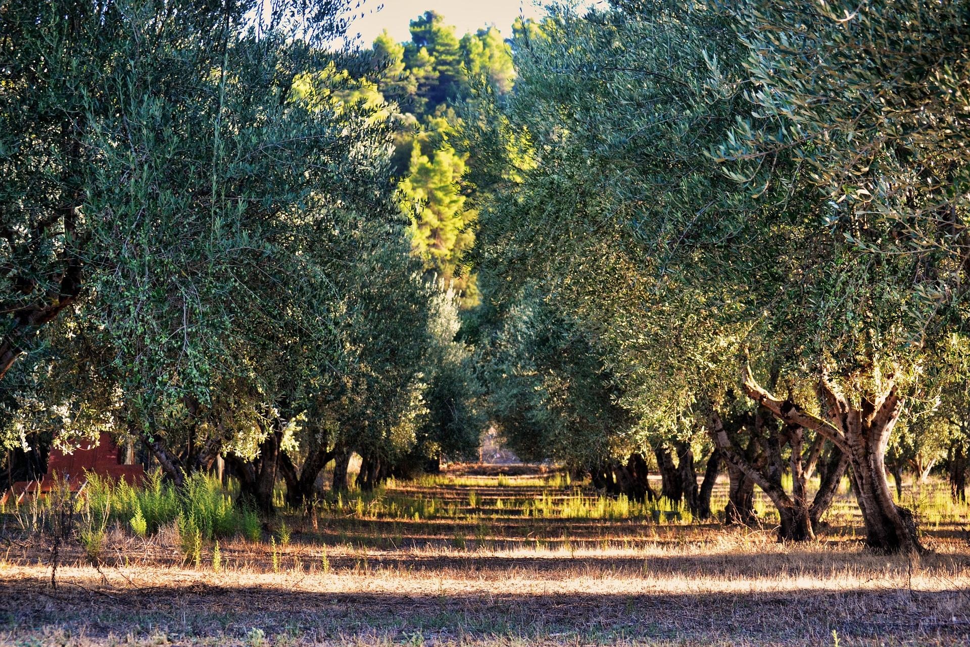 An olive farm