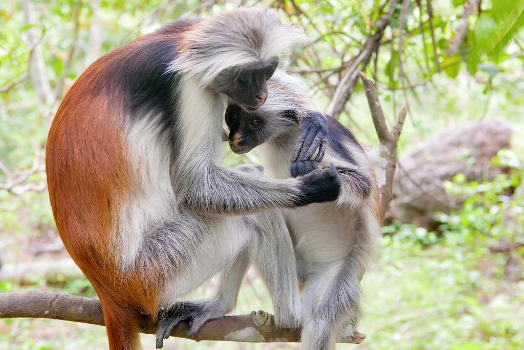 Red colobus (Piliocolobus kirki) monkey feeding its cub
