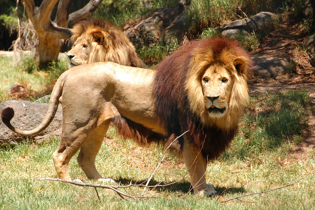 1280px-lion_in_melbourne_zoo