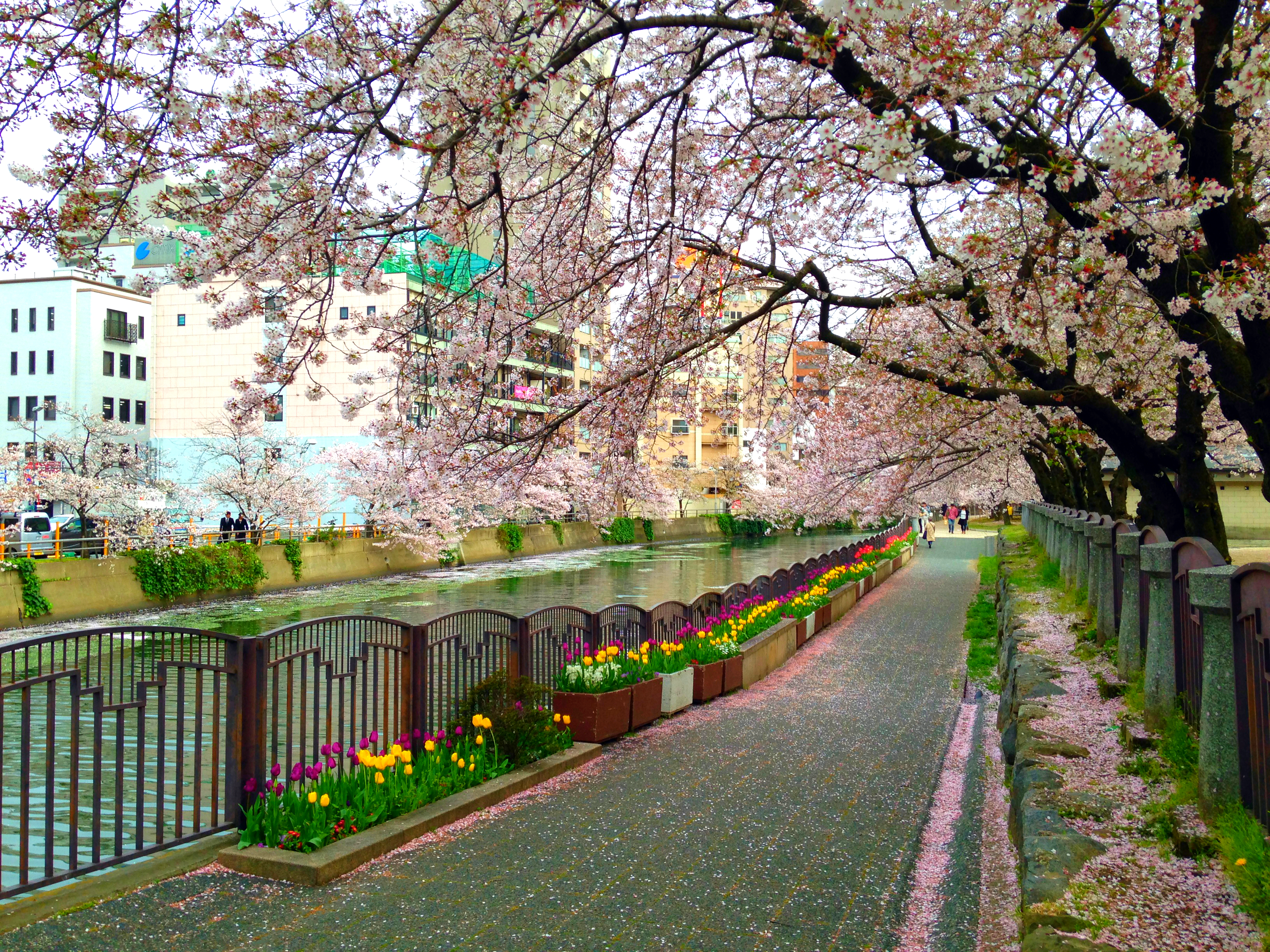 yakuinshinkawa_river_and_cherry_blossoms_of_tenjin_central_park_3